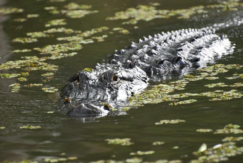Alligator, Honey Island Swamp, Louisiana, USA | Paul ... Louisiana Swamp Alligator