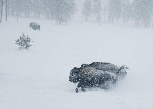 bison races | by haglundc