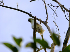 ternate_white_cockatoo500 | by East Asia & Pacific on the rise - Blog
