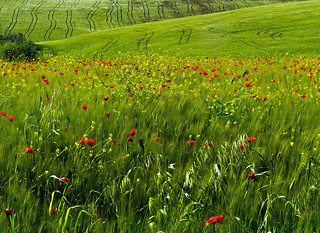 Coquelicots | by Dimit®i
