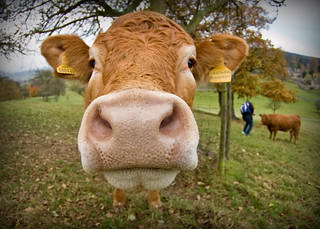 A cow [15/365] | by publicenergy