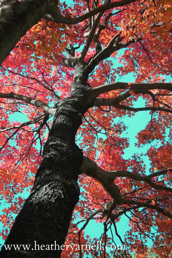 Missouri Autumn Tree