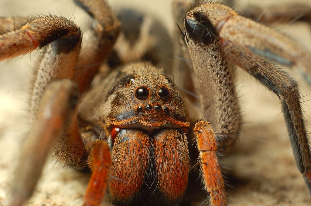 Большой ядовитый паукЮжнорусский тарантул  YouTube