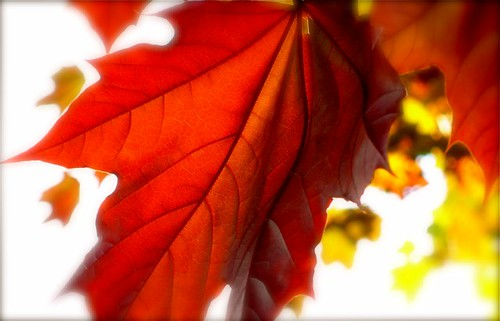 Red Leaf | by tabrandt
