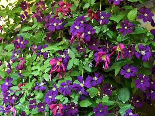 clematis viticella 39 etoile violette 39 etoile violette. Black Bedroom Furniture Sets. Home Design Ideas