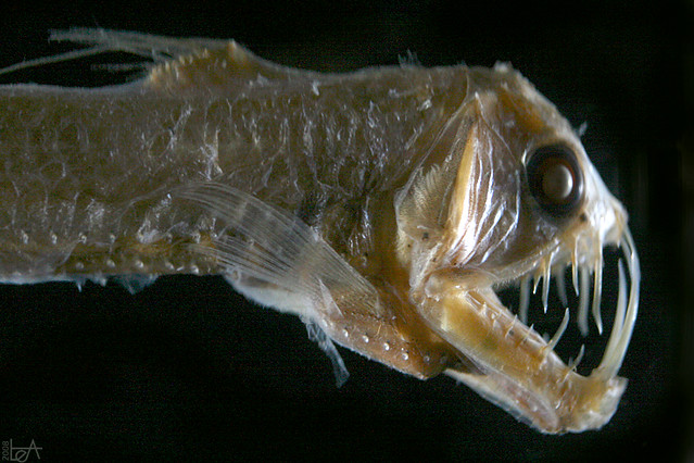 Sloane's Viperfish This fish can be found as deep as 2500m! It ...