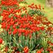 Red-yellow Tulips Garden