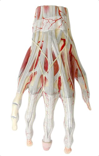 Posterior aspect of tendons and muscles of the right hand | by EUSKALANATO