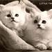 Kittens (longhair) - Little Treasures - RP 336 Valentine's real photo