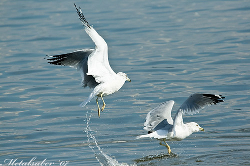 Seagull chasing each other | by metalsaber