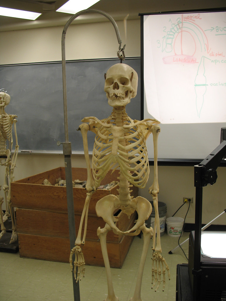 Human Skeleton | A real live skeleton.... Well...as live ...