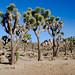 A grove of Joshua Trees