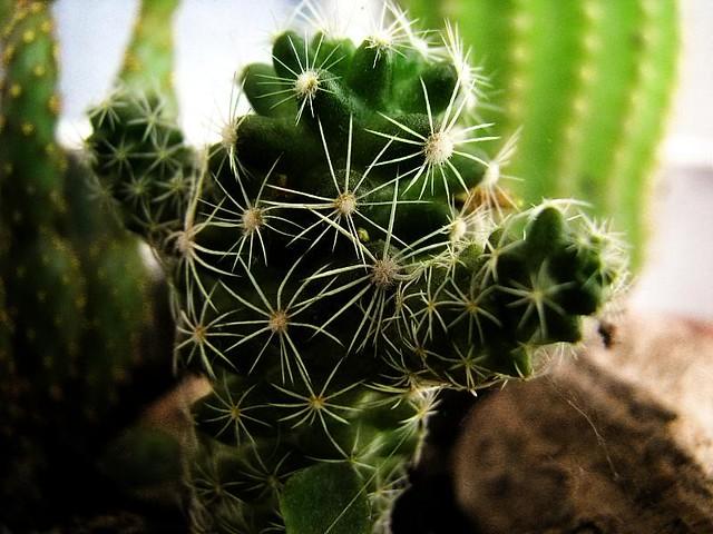 Macro de mini cactus santiago nicolau flickr for Cactus santiago