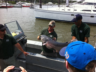 An invasive blue catfish. Look how big it is! | by USFWS Headquarters
