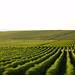 champagne vineyards