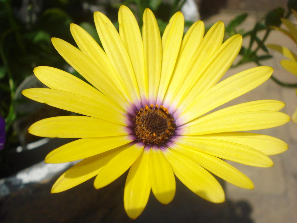 Yellow Flower With Purple Center Jleko50186 Flickr