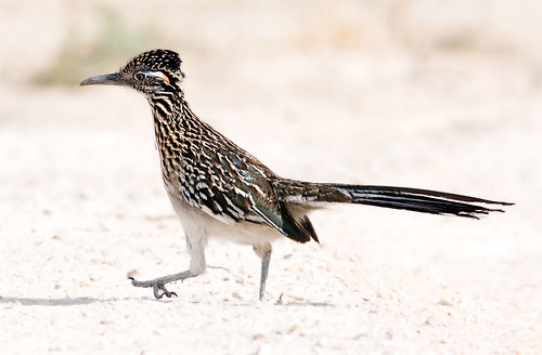 Roadrunner, Big Bend, Texas | by tokara