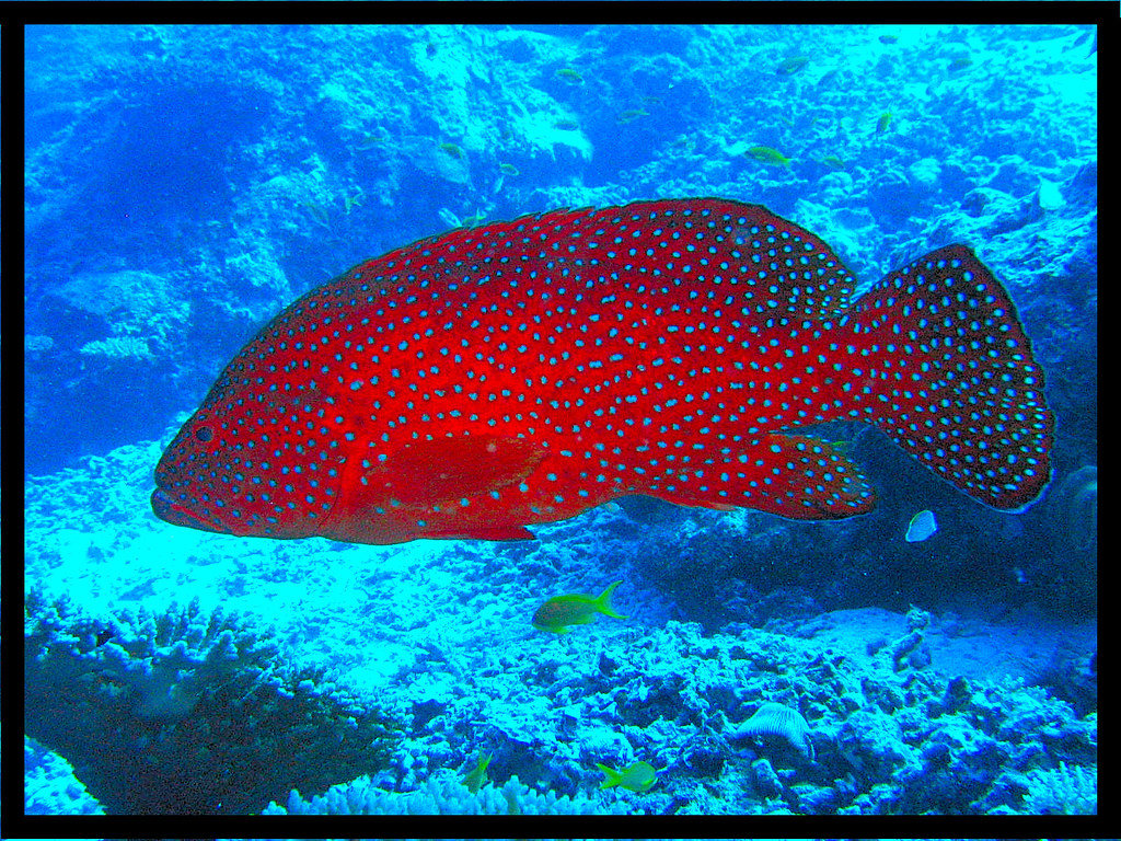 Grouper | Red grouper are easily recognized by their color | damps ...
