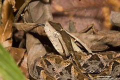 The deadly fer-de-lance Bothrops asper | by Ecoagriculture Partners