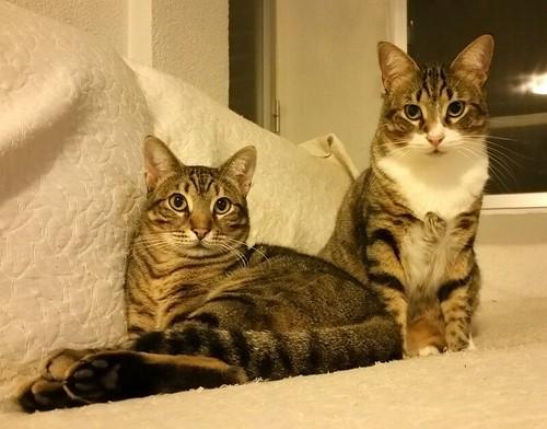 Cotton y Cobby, gatos pardo y blanquipardo inseparables, nacidos en Febrero´15, necesitan adopción Conjunta. Valencia. 32978994471_1a043763fd