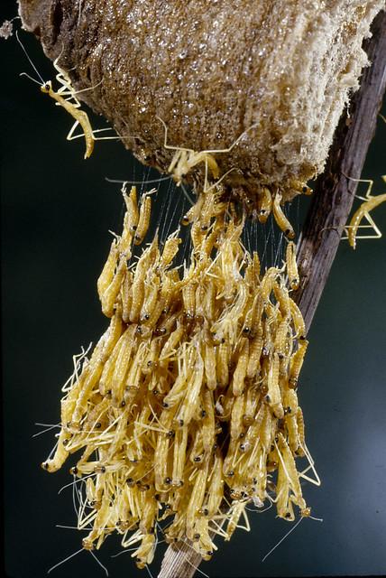 Praying Mantis Eggs Praying Mantis Eggs Ha...