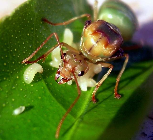 Weaver ant  OISAT