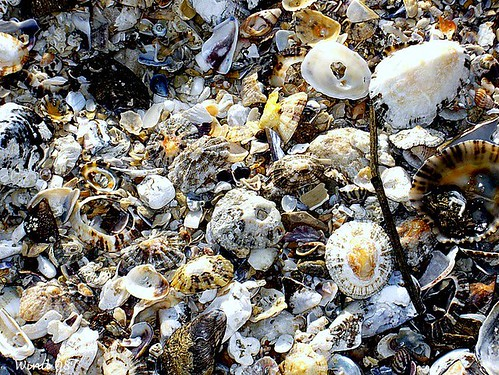 SHELLS | by Isabel Cruz