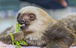 Hoffmann's two-toed sloth Gamboa Wildlife Rescue pandemonio 2017 - 09 | by Eva Blue