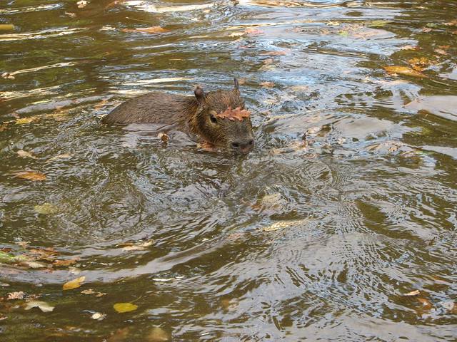 Capybara swimming - Edinburgh Zoo, Edinburgh, Scotland ...