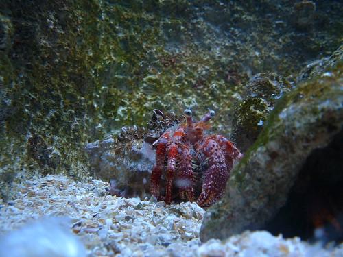 bernard l hermite aquarium de la rochelle st 233 phane flickr