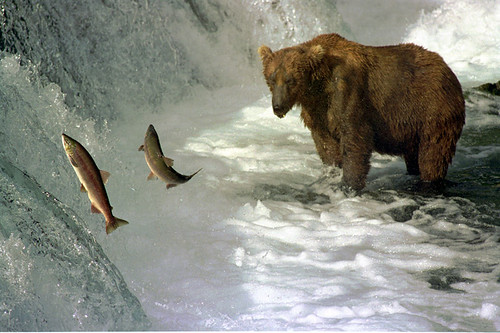 Brown bear and salmon | by Ken Bondy