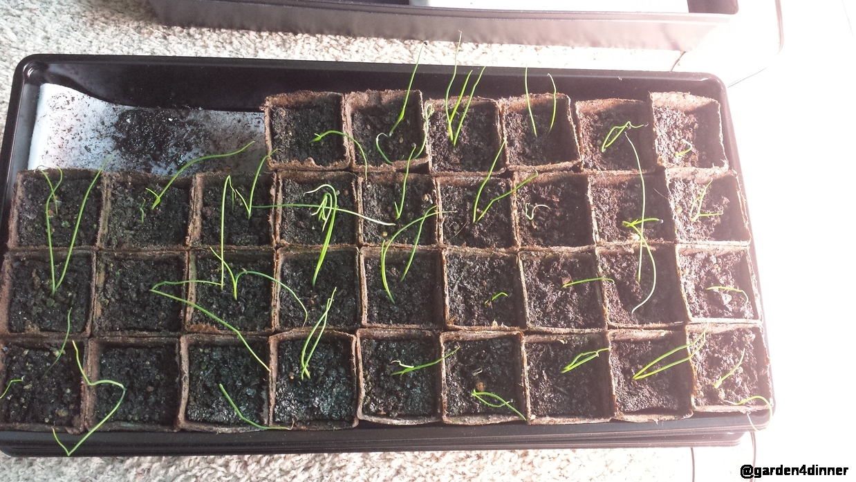 diy self-watering seedling tray