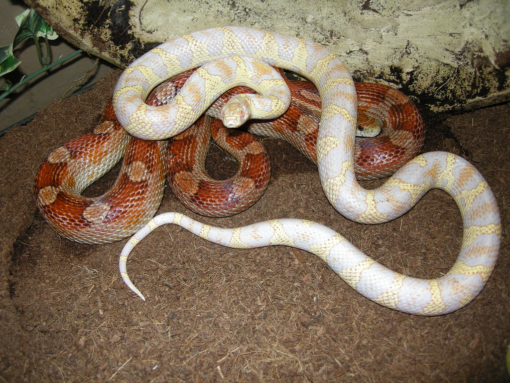 For Sale Variety of 2015 Corn Snake Hatchlings Available ... |Black Albino Motley Corn Snake