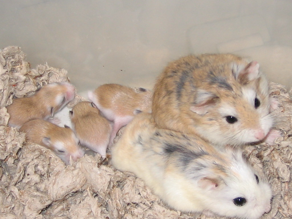 Roborovski's Babies bred by Inari Hamsters | White-faced x ...