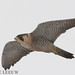 Peregrine Falcon, Boundry Bay, Vancouver