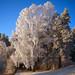 December Birch