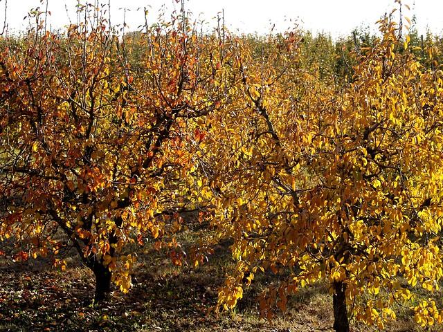 Els arbres fruiters es vesteixen de tardor los rboles f - Como se podan los arboles frutales ...