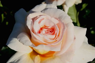 Parnell Cream Rose | by A u s s i e P o m m