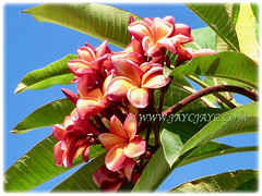 Plumeria with captivating multicoloured flowers, 11 Feb 2017