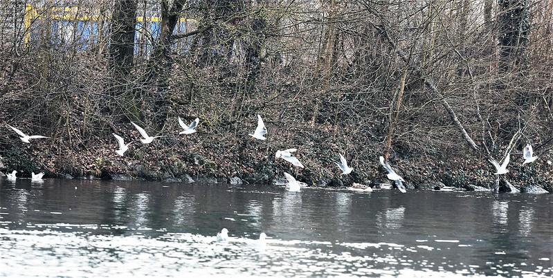 Swans and ducks River Aar 19.02 (13)