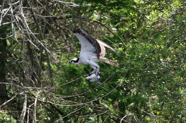 Osprey in action taken at tenoroc mine in lakeland fl for Tenoroc fish management area