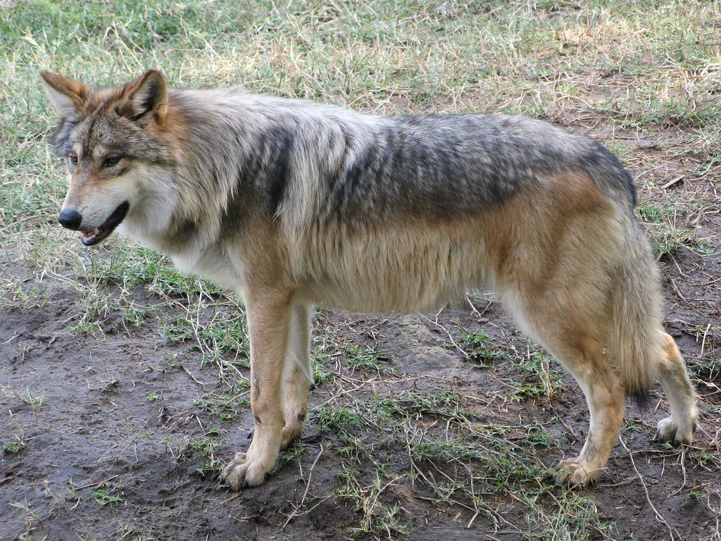Lobo Gris Mexicano Foto De: Mexican Wolf Patiently Posing At