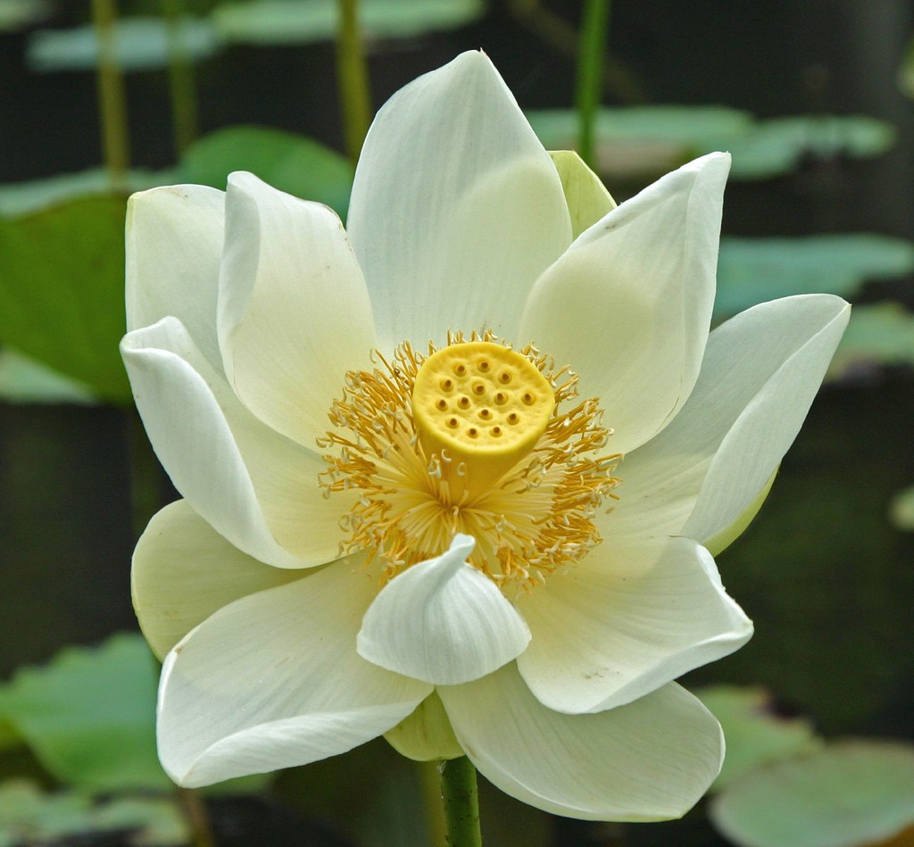 White Lotus Flower In Mauritius Bildervonunten If A Flickr