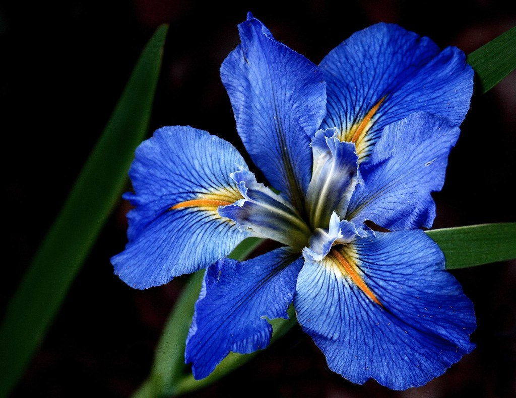 blue louisiana iris when the blue iris starts blooming. Black Bedroom Furniture Sets. Home Design Ideas