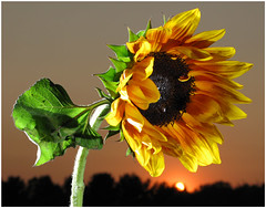 Sunflower4DVDs | by strobist