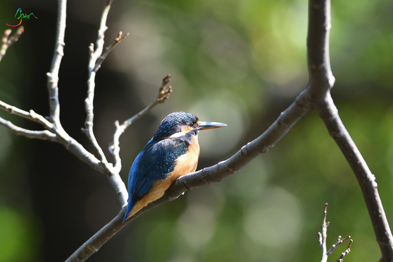 Common_Kingfisher_2950