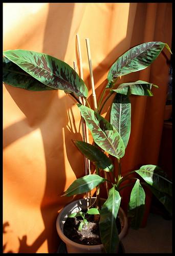 *musa* - Musa acuminata var. sumatrana - bananier de Sumatra 32812000692_827b9439f3