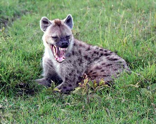 Laughing Hyena | by Barry Morten
