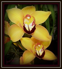 Golden Orchids | by lgal3824