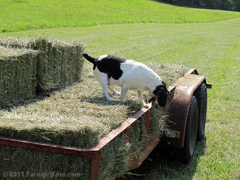 Bert on the hay trailer 1 | by Farmgirl Susan